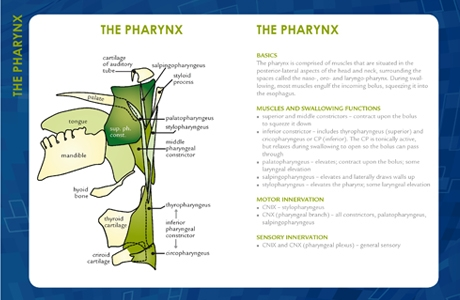 Pharynx Swallow Guide small